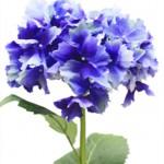 CFH012 31in Hydrangea Blue Green W $9.95 ea