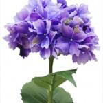 CFH012 31in Hydrangea Lavender W $9.95 ea