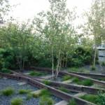 highline birch trees