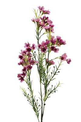 Cfd Catalog Gt Flowers N Z Gt Wax Flower