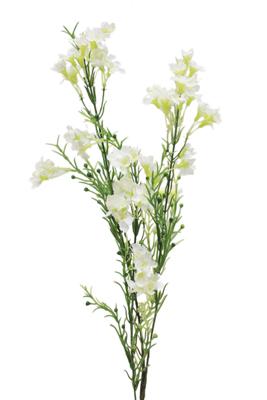 Cfd Catalog Flowers N Z Wax Flower
